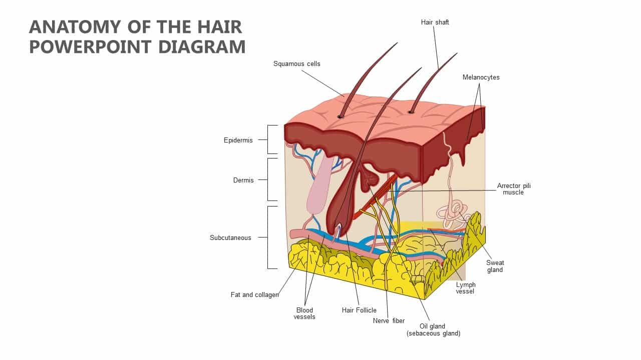 Formation of Hair anatomy Hair Follicle